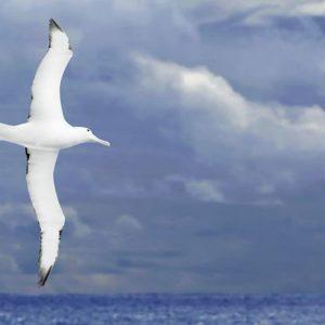 Albatrossi 246 Canvas-taulu