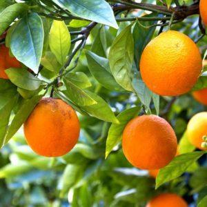 Appelsiinipuu 307 Canvas-taulu