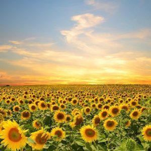 Auringonkukkapelto 417 Canvas-taulu