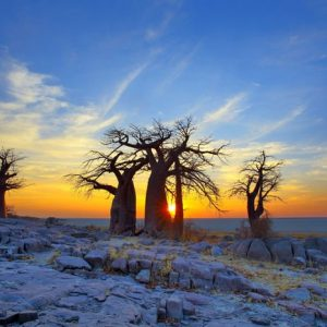 Baobab Kalahari 916 Canvas-taulu