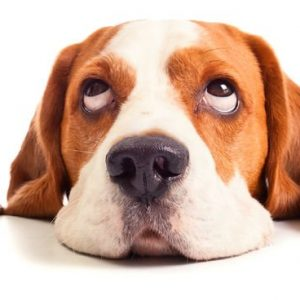 Beagle 564 Canvas-taulu