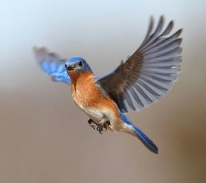 Bluebird 1578 Canvas-taulu