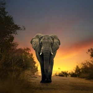 Elefantti Tansania 283 Canvas-taulu