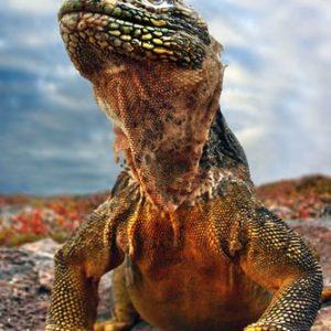 Galapagos Iguana 1019 Canvas-taulu